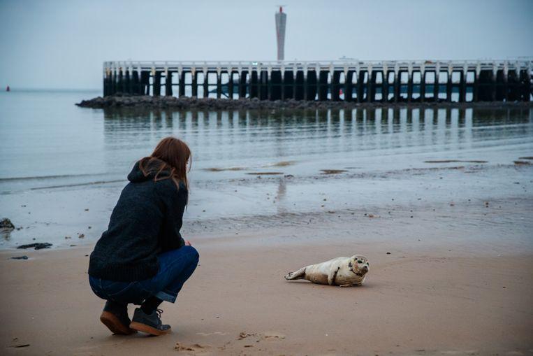 Archieffoto. Een vrouw bij een rustende zeehond op het strand van Oostende. Beelden zoals deze willen de politie en het stadsbestuur vermijden. Daarom zullen er patrouilles worden ingezet.