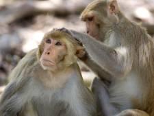 Des singes chipent des échantillons de test sanguins pour le Covid-19