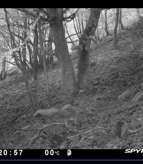 """Le lynx d'Europe s'est installé dans les Ardennes: """"Nous pouvons le prouver avec cette vidéo"""""""