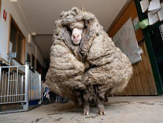 """Schaap zeult maar liefst 35 kilogram wol met zich mee: """"Dier kon nauwelijks nog zien"""""""