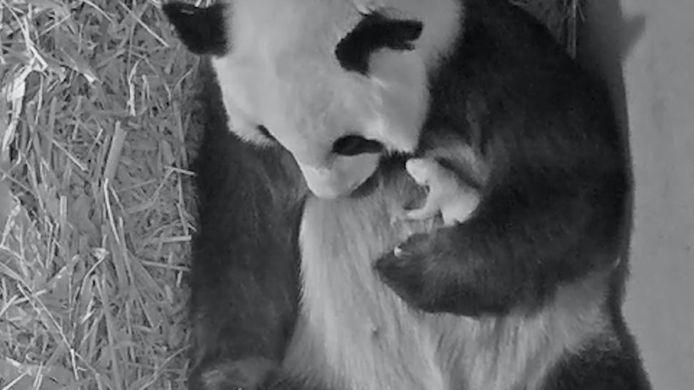 Reuzenpanda Wu Wen en haar jong in Ouwehands Dierenpark in Rhenen.
