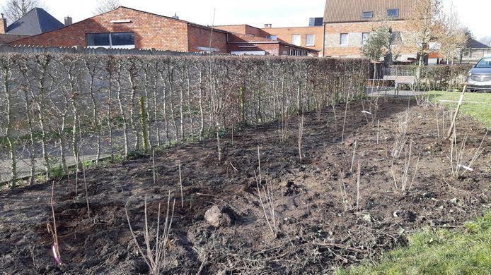 De eerste boompjes voor de plukroute in Schuiferskapelle zitten in de grond.