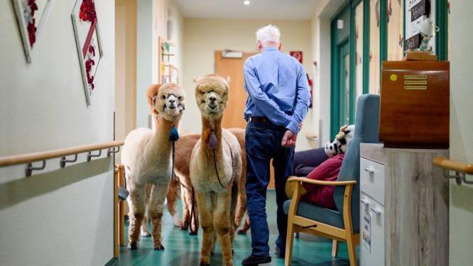 IN BEELD. Alpaca's zorgen voor vreugde in woonzorgcentrum