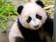 Smile! Pandajong Fan Xing voor het eerst op 'echte' foto in Ouwehands