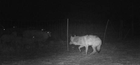 Schapenhouder krijgt geld voor bescherming tegen wolf: Gelderland trekt ruim een miljoen uit