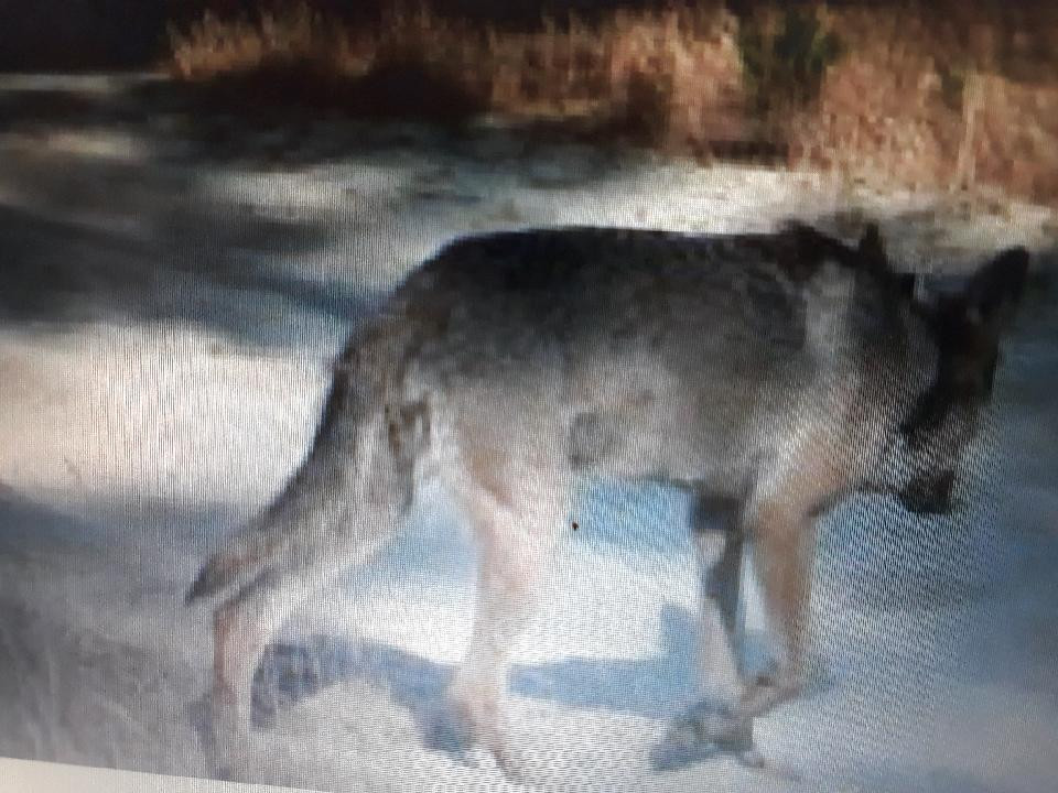 In België werden een wolvin en haar jongen dood aangetroffen, vermoedelijk omgebracht door jagers.