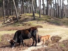Baas van taurossen schrikt van idee om dieren uit te bannen in Oss