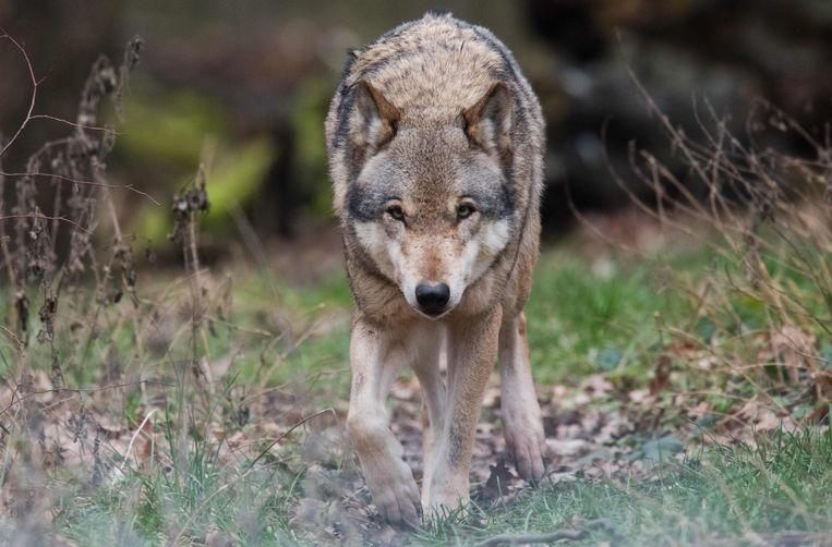 De Europese wolf (Canis lupus lupus) heeft zich in Nederland gevestigd. Beeld AFP