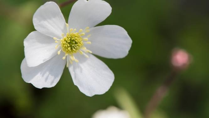 Boterbloem: onkruid of past hij in de ordentelijke tuin?