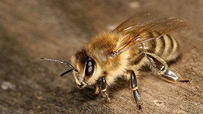 Parasiet verandert miljoenen bijen in zombies