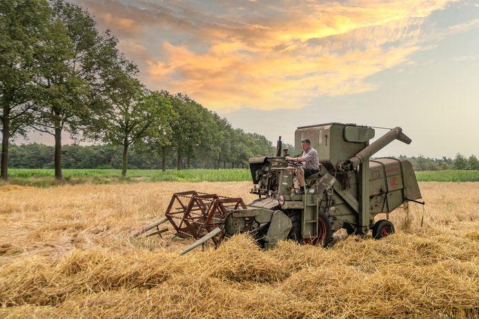 Het oogsten van rogge in de aanloop naar Sint Joapke: Hans Japink op zijn Claes Mercure.