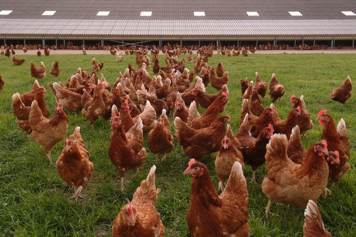 Kippen scharrelen in het gras bij een vrije uitloopstal. Na het constateren van vogelgriep bij twee dode knobbelzwanen in de Utrechts plaats Kockengen, geldt al sinds eind oktober een ophokplicht in Nederland voor alle pluimveehouders.