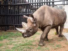 Vijf zwarte neushoorns uitgezet om populatie in Rwanda op te krikken