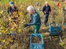 Laatste druiven worden binnengehaald in Groesbeek