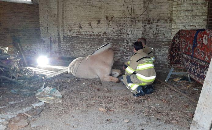 Nadat brandweerlieden meerdere pallets hadden opgestapeld onder het been van het paard in de gierput, kon het dier zich afzetten en op eigen kracht uit de kelder stappen.