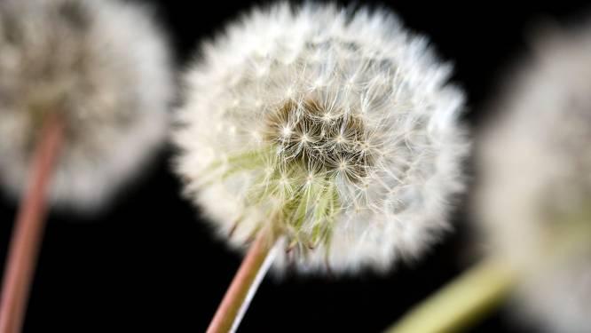 Pollenseizoen wordt heviger en duurt langer