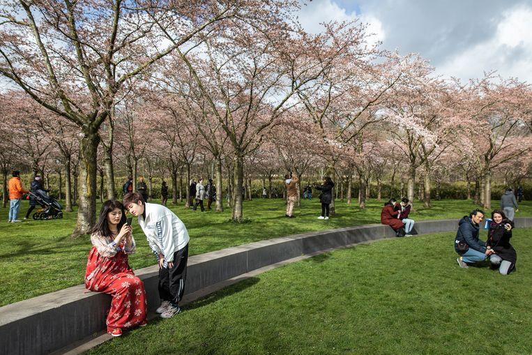 Het Bloesempark in het Amsterdamse Bos. Als de temperatuur gaat stijgen, zullen de knoppen allemaal opengaan. Beeld Dingena Mol