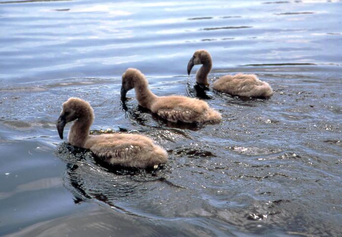 Drie flamingo-kuikens in het water van het Zwillbrock.