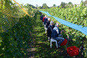 Archieffoto van vrijwilligers tijdens oogst in 2017.