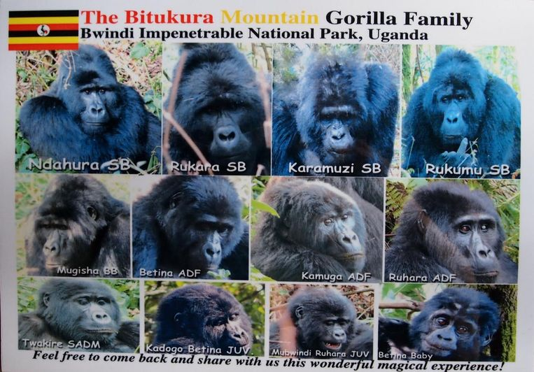 De gorillageroep waarvan Ndahura de leider was met rechtsboven zijn waarschijnlijke opvolger Rukumu. Beeld Uganda Wildlife Authority