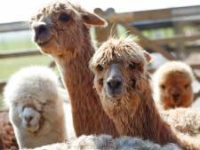 Hek rond 'springende alpaca's' bij Son mag blijven staan, want soms springen ze heel hoog