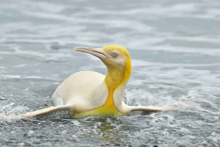 Deze unieke gele pinguïn werd gefotografeerd op een onbewoond eiland in de Atlantische Oceaan. Beeld Yves Adams/Starling Reizen