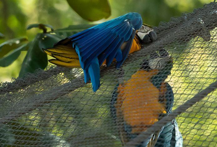 Juliet vertoont paringsgedrag met de gekooide papegaaien.