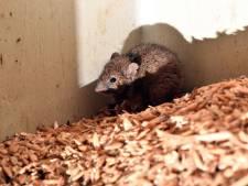 Une espèce de souris qu'on croyait éteinte depuis 150 ans retrouvée sur une île en Australie