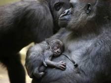 Geboorte babygorilla Artis houdt  familie de hele dag bezig