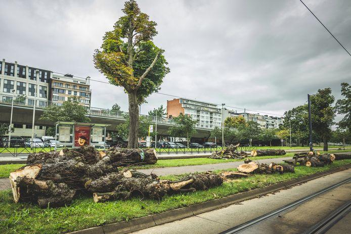 De dode kastanjebomen langs de Frère-Orbanlaan worden gerooid