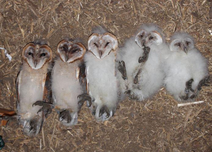 De vijf kuikens van de kerkuil in de schuur van Lucien.