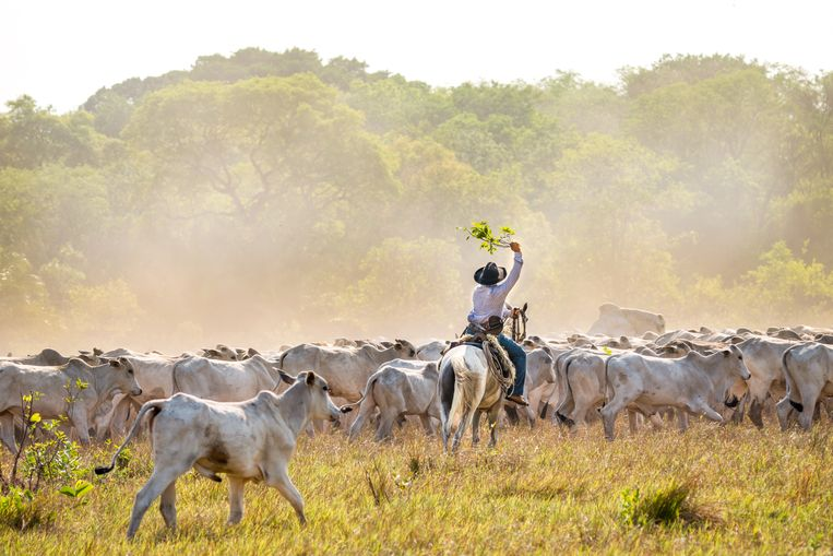 Cowboys drijven het vee bijeen. Beeld Noel van Bemmel