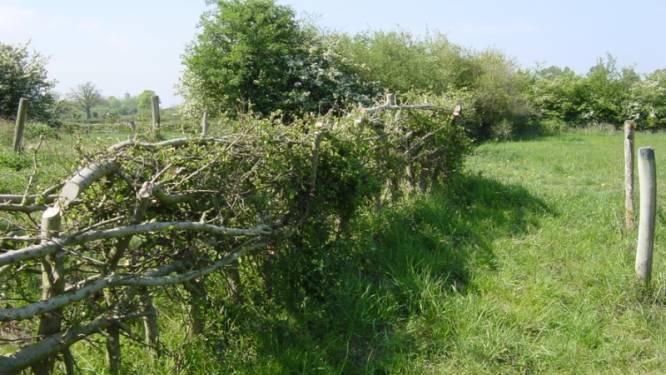 Laarbeek ziet liever vlechtheggen dan prikkeldraad in de velden