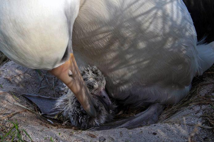 Albatroswijfje Wisdom met haar vermoedelijk 36ste kuiken.