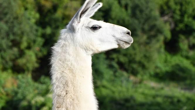 Belgische lama zou wel eens geheime wapen tegen coronavirus in zich kunnen dragen