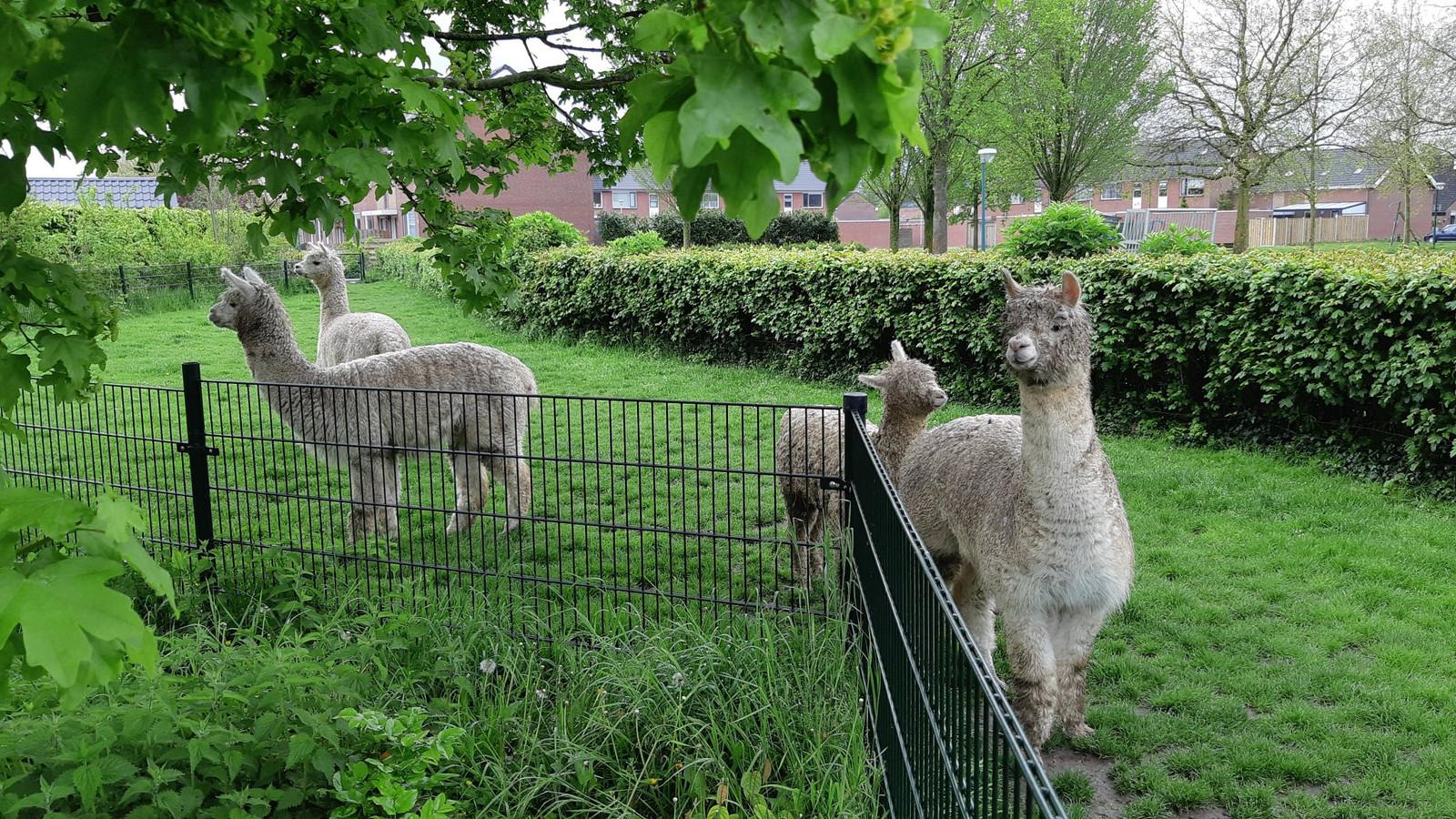 De alpaca's in Klundert.