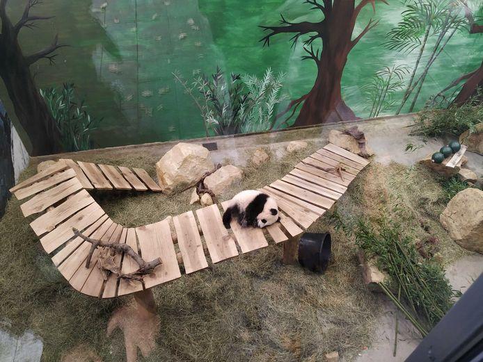 De jonge reuzenpanda in Ouwehands.