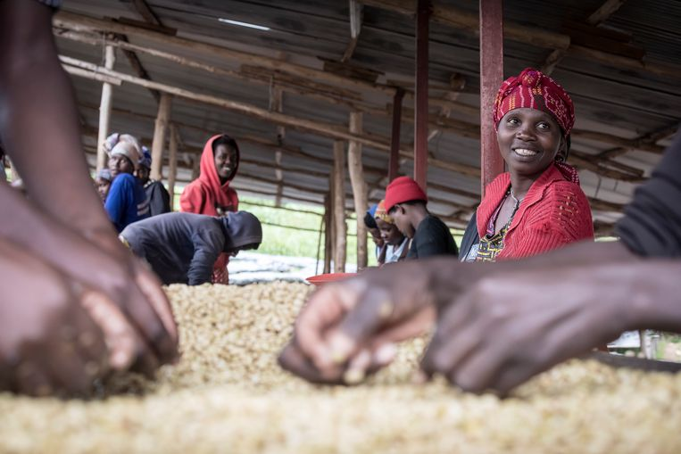 Vrouwen in Rwanda pikken de slechte koffiebonen eruit bij de coöperatie Sholi. Zij verdienen 1 euro per dag. Beeld Sven Torfinn