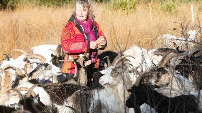 Geiten houden de heide in Beerze kort: 'Ze halen meer boompjes weg dan schapen'