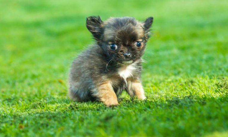 Dit is het kleinste hondje ter wereld - Basket thuis van de wereld ...