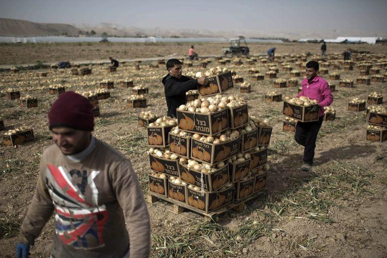 Palestijnen bewerken een uienveld nabij de Israëlische nederzetting Almog, nabij de stad Jericho in de Westoever. De Israëlische overheid annexeert momenteel land in dit gebied. Beeld epa