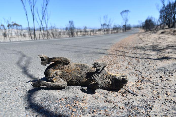 Deze koala is een van de zowat 500 miljoen dieren die de branden niet hebben overleefd.