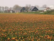 Goed nieuws: tulpen op Voorne-Putten staan dit weekend in bloei
