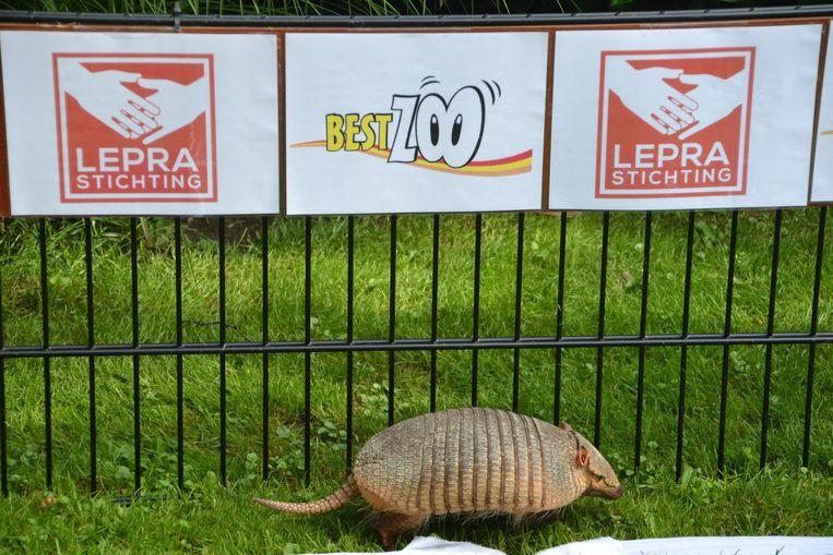 In 2010 hadden we octopus Paul uit Duitsland nog om het WK te voorspellen, maar hij is inmiddels overleden. Zijn opvolgers staan al klaar: een fotoserie van de dieren die de uitslag van het WK voorspellen.<br /><br />Op deze foto: Een voorspeller van eigen bodem, Gordeldier Bert. Bert, afkomstig uit dierentuin BestZoo in Best, voorspelde het EK twee jaar geleden constant verkeerd, maar hij krijgt tijdens het WK nog een kans. We moeten zijn voorspellingen andersom interpreteren, blijkt nu. Beeld Leprastichting