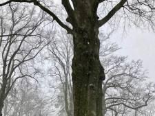 Dinkelland sluit deel van park in Ootmarsum af na afknappen grote tak van oude beuk