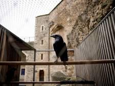 La reine des corbeaux légendaires de la Tour de Londres a disparu: le Royaume-Uni retient son souffle