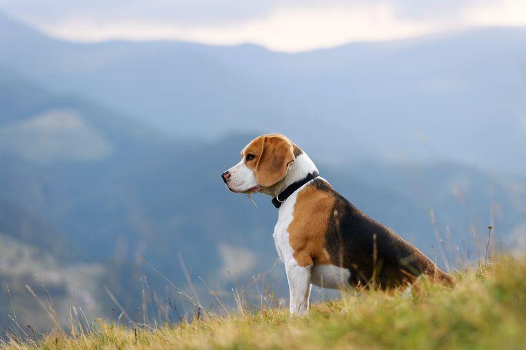 Beagle. Beeld Getty Images/iStockphoto