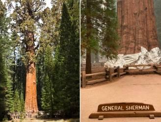 Grootste boom ter wereld in brandwerend deken gewikkeld uit vrees voor oprukkende bosbranden