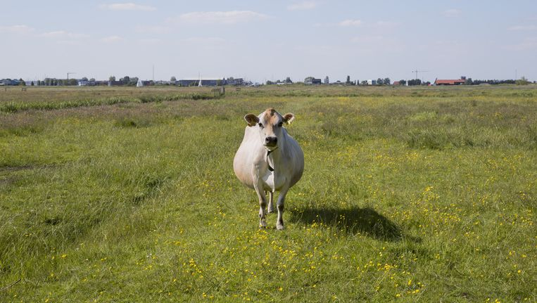 Zwangere Jersey koe op natuureiland Gouden Boaiem. Beeld Hans van der Meer