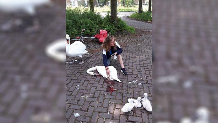 De aangereden zwaan was niet meer te redden.